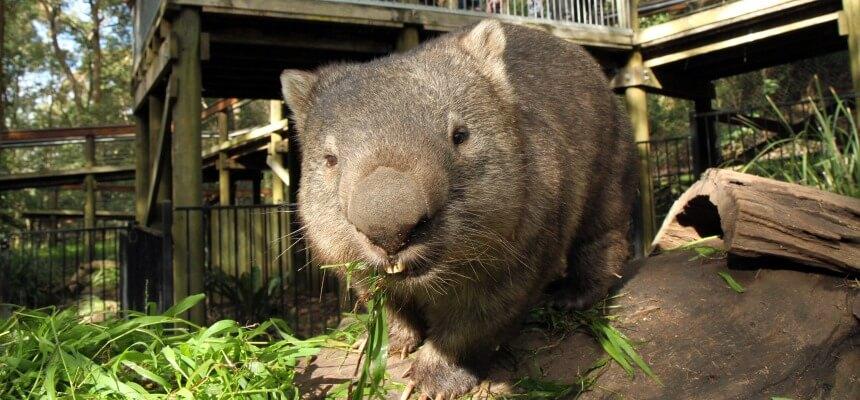 a wild animal eating grass